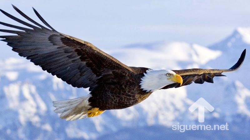 Aguila volando desplegando sus alas