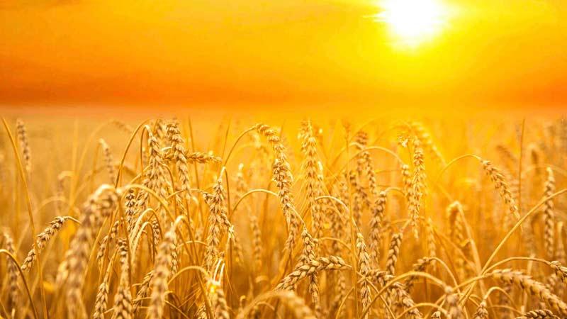 Cosecha de trigo, prosperidad integral