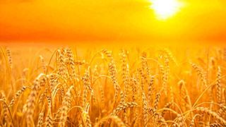Campo de trigo en tiempo de cosecha